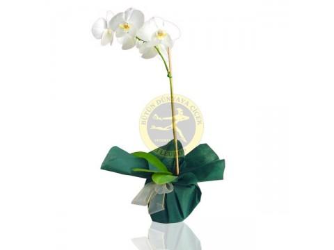 Beyaz Falenopsis Orkide Bitkisi