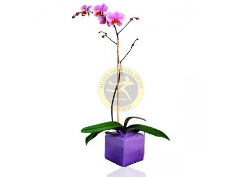 Vazoda Mor Falenopsis Orkide Bitkisi