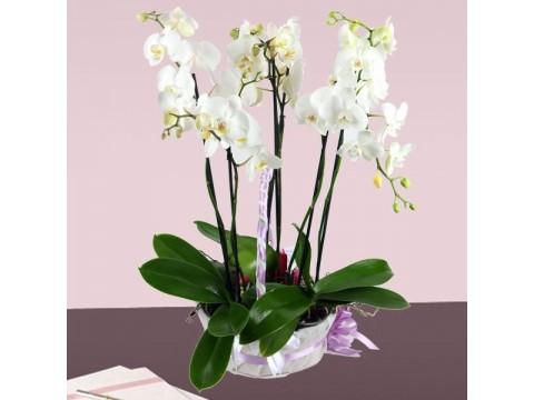 Büyük Boy Falenopsis Orkide