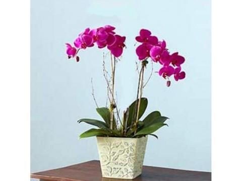 İkili Mor orkide Bitkisi (Renk Değişebilir)