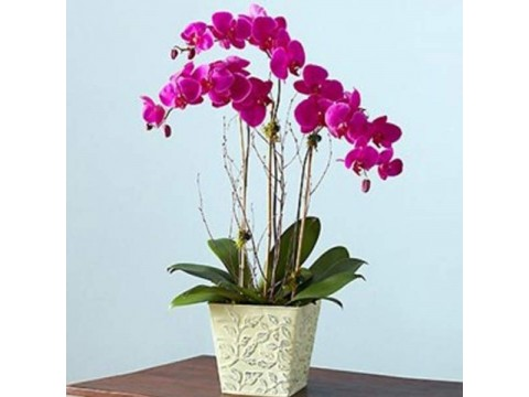 3lü Mor Orkide (Renk değişebilir)
